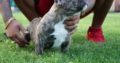 4 Beautiful American Bully Pups (abkc Reg)
